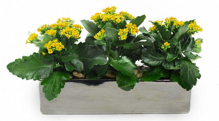 Triple Yellow Kalanchoe