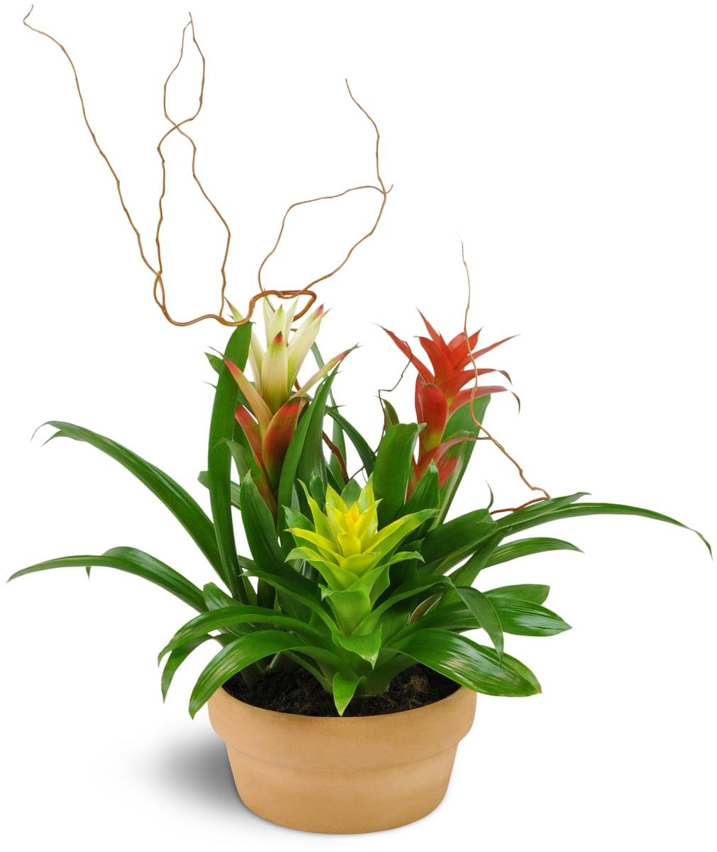 Triple Bromeliad Garden