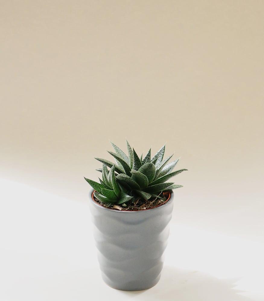 Petite Succulent Plant
