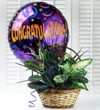 Congratulations Dish Garden with Balloon