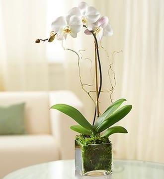 1 Stem White Phalaenopsis Orchid for Sympathy