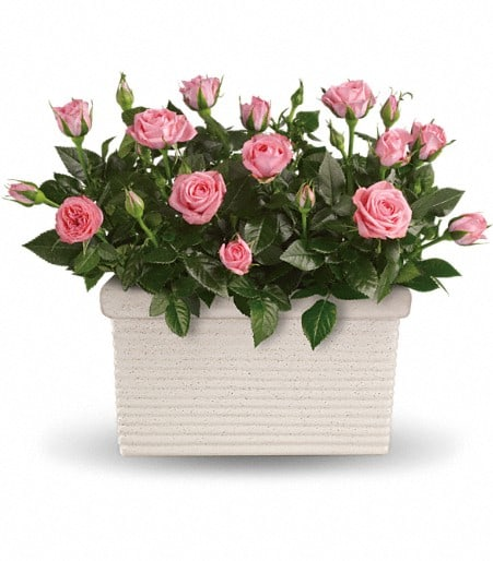 Rose Repose
