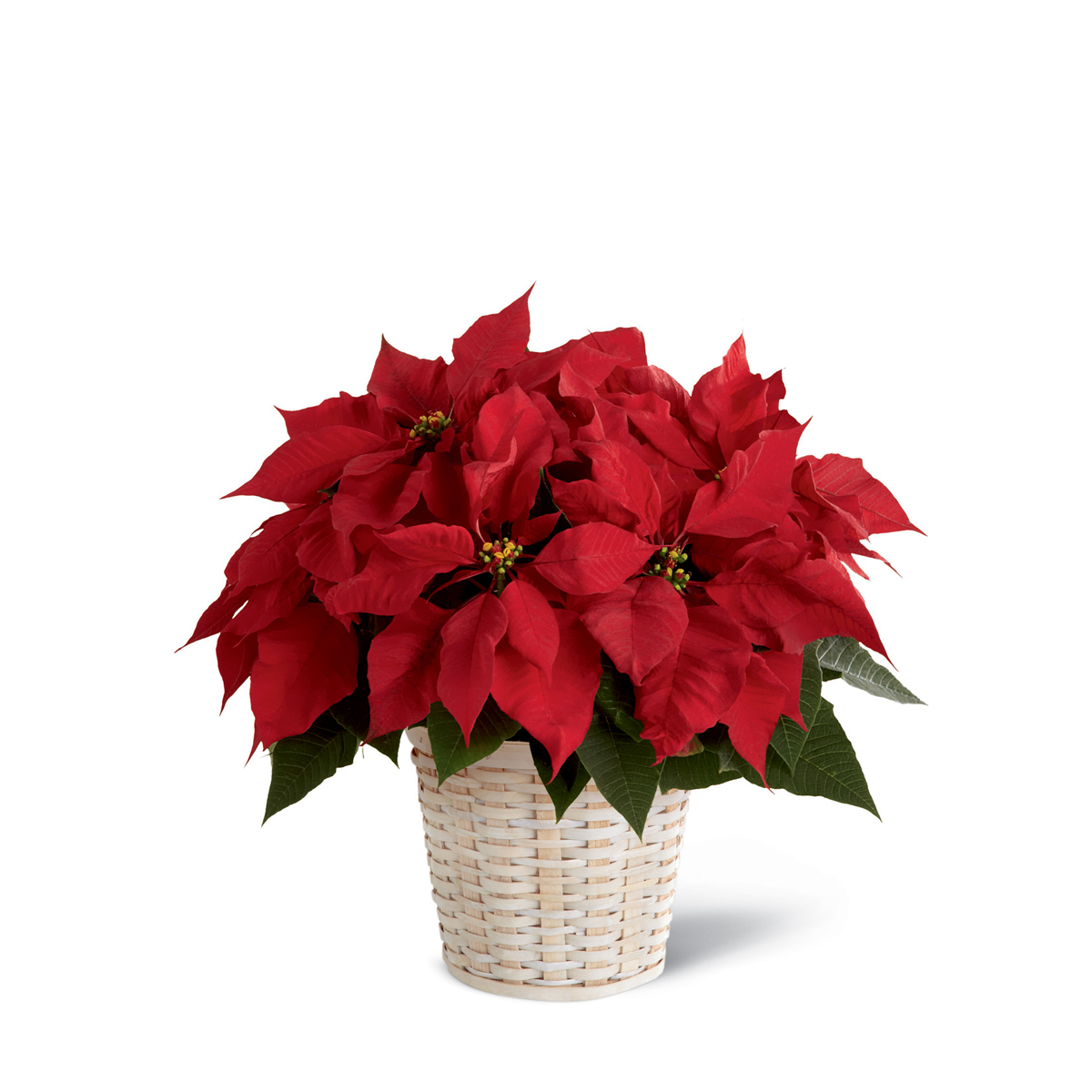 The Ftd Red Poinsettia Basket Small Tuscola Il Florist