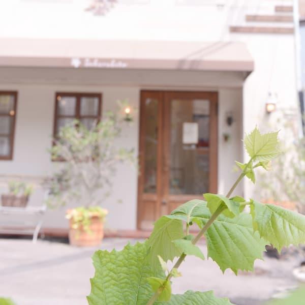 sakura mimosa